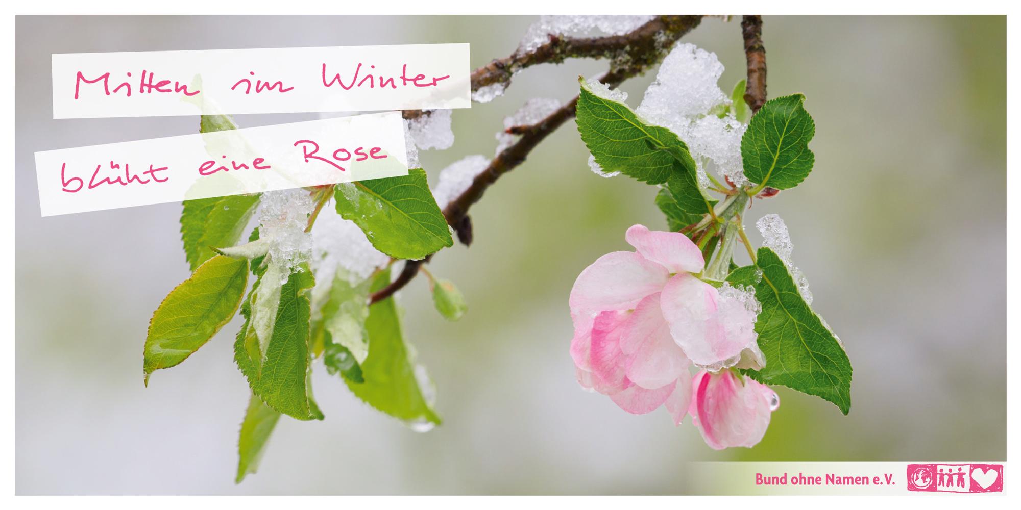 Mitten im Winter blüht eine Rose